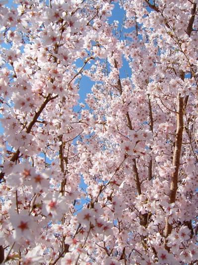 桜09の2.jpg