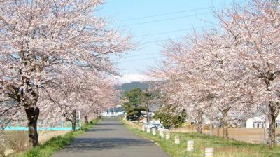 桜雪.jpg