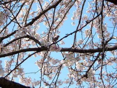 桜鳥.jpg